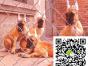 北京大丹犬多少钱北京大丹犬怎么养北京大丹犬性格