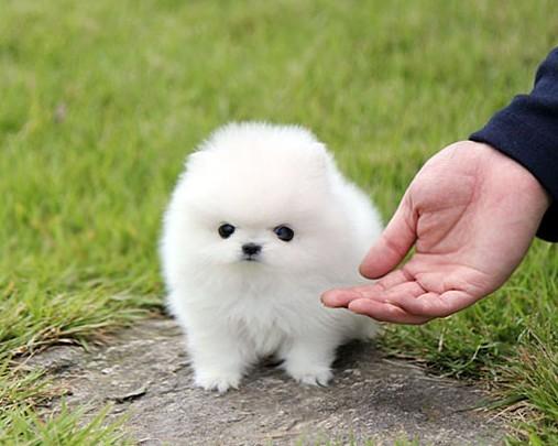 出售纯种活体幼犬黄色博美幼犬宠物狗狗长毛玩具犬玩赏犬小型博美