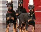 精品双血统杜宾犬 主人身份象征 出售幼犬