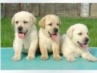 郑州养殖场直销,拉布拉多,泰迪犬,博美犬,等多品种