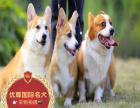 正规狗场繁殖 柯基 疫苗齐全保活签协议 种公配种