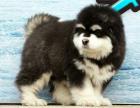 cku注册五星级犬舍 双血统阿拉斯加可上门挑选