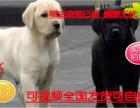 犬舍直销拉布拉多幼犬便宜出售,诚心想养的联系我