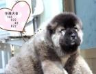狼青色高加索幼犬价钱看家看场子首选高加索小狗价位