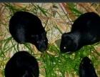 自家养殖的黑豚鼠