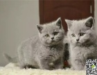 自家繁育纯血蓝猫幼猫多只弟弟妹妹都有可办理证书欢