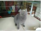 出售英国 短毛蓝猫
