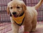 纯种金毛幼犬 毛色华丽一气质高雅一常年销售有