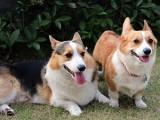黃南本犬舍出售純種阿拉斯加 健康保障