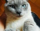 深圳8个月暹罗猫(赠猫别墅)