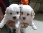 2个月的蝴蝶犬1200元(母)