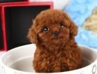 合肥哪里卖泰迪茶杯泰迪灰泰迪犬幼犬合肥泰迪多少钱一只泰迪图片