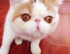 自家胖嘟嘟两只加菲猫小猫咪免费找爱猫人士领养照顾