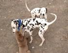 安徽大型肉狗养殖场,招加盟商加盟 种植养殖