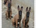 马犬 德牧 专业繁育 包训练 全国包邮 纯种马犬多少钱