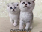 CFA双血统英国短毛猫英短蓝白正八梵文妹妹带繁育权