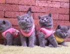 广州哪里有蓝猫卖,出售家养精品蓝白英短 包健康