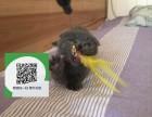 杭州哪里有蓝猫出售 杭州蓝猫价格 杭州宠物猫转让出售