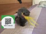 柳州哪里有蓝猫出售 柳州蓝猫价格 柳州宠物狗出售信息