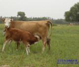 反刍动物益生菌200亿 益生菌添加剂 乳酸菌菌粉 益生菌