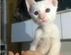 无锡那里有暹罗猫