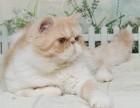 加菲猫宠物猫异国短毛猫纯种活体乳色加白弟弟
