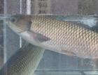 优质鱼!有大量锦鲤鱼草鱼鱼出售!价格优惠,量大价格面议!