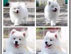 实体犬舍繁殖纯种健康萨摩 微笑天使 多只可选