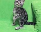 美国短毛猫标斑弟弟