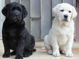 狗场直销一出售纯种拉布拉多犬好养活一签合同一送用品