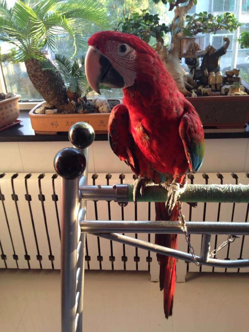 金方鹦鹉鹦鹉出售