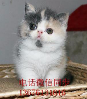 汕头哪里有卖蓝猫 龙湖区哪里有卖蓝猫 蓝猫好不好养