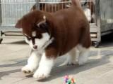 佛山哪里有卖健康阿拉斯加雪橇犬 实体狗场疫苗做齐签协议