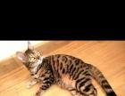 纯种赛级豹猫欢迎预定