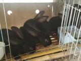 江苏省獭兔种兔的价格 獭兔养殖前景 獭兔回收价格