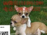 拥有匀称的体格和娇小的体型的狗狗 吉娃娃