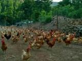 出售林下散养笨鸡蛋虫草蛋山鸡蛋草鸡蛋土鸡蛋柴鸡蛋有机鸡蛋