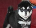 绝对纯种健康的阿拉斯加幼犬,上门有商量,非常健康