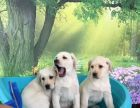 中秋节特卖高品质奶白拉布拉多幼犬驱虫疫苗已完成保证健康