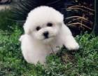 出售纯种 比熊犬 法国卷毛比熊犬 保证健康3个月