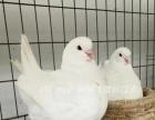 精品元宝鸽贴吧元宝鸽/特大价格_元宝鸽养殖场图片