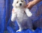 吴中区哪有比熊犬卖 吴中区比熊犬价格 吴中区比熊犬多少钱