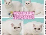 貓舍直銷布偶貓 金吉拉 波斯貓 加菲 折耳貓 短毛貓 暹羅貓