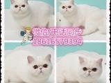 貓舍直銷布偶貓 金吉拉 波斯貓 加菲 折耳貓,美短,英短