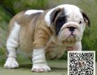 出售纯种斗牛幼犬 价格合理品质保证可上门挑选