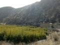 油松自家种植1到2米