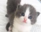 自家精品纯种蓝白猫