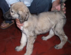 哪里出售阿富汗猎犬 哪里有卖阿富汗猎犬