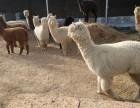 羊驼矮马的价格黑天鹅哪里有