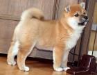 三亚纯种秋田价格 三亚哪里能买到纯种秋田犬